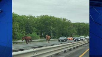 Horses Cause Traffic Jam in Acton