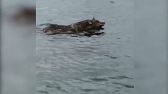 Cape Cod Coyote Caught Doing a 'Doggy Paddle'