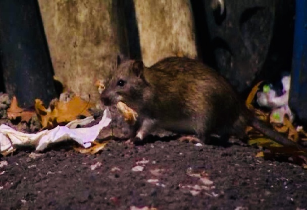 New Rat City: Boston's Growing Rodent Problem