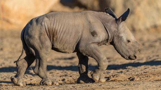 Adorable Zoo Babies: Justin the Rhino