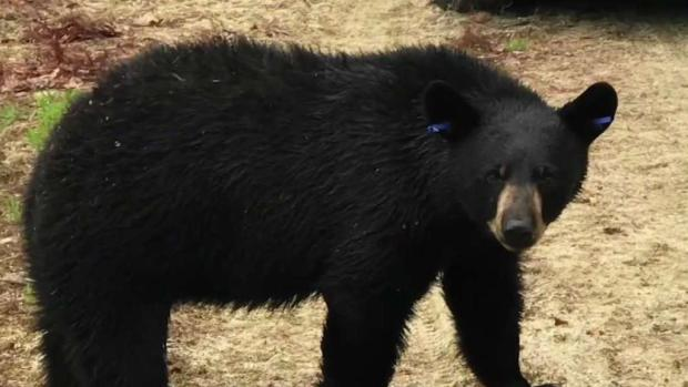 [NECN] Bear Relocated After Getting Stuck in Arlington Tree