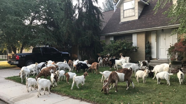 'Goat-a-Palooza': Herd of Hungry Goats Descend on Idaho Neighborhood
