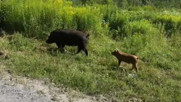 Pigs on the Loose After Escaping From Vermont Farm