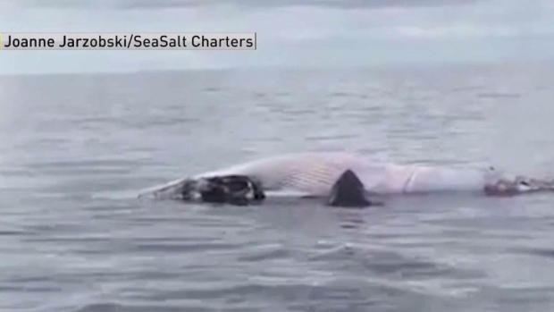 Whale Watchers Spot Sharks Eating Minke