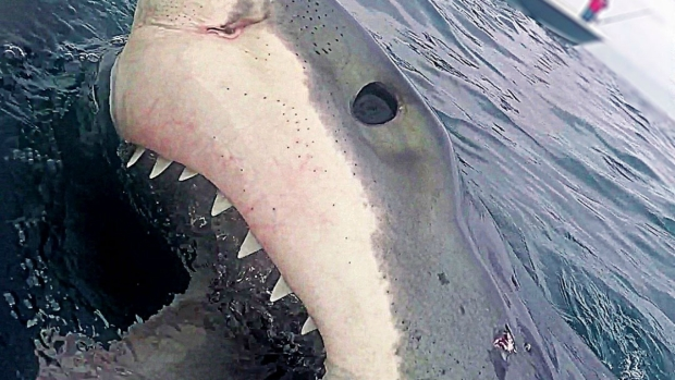 Cape Cod Sharks: Over 180 Great White Sightings Already This Summer