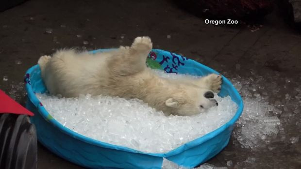 Playful Polar Bear Cub Loves Ice Pool