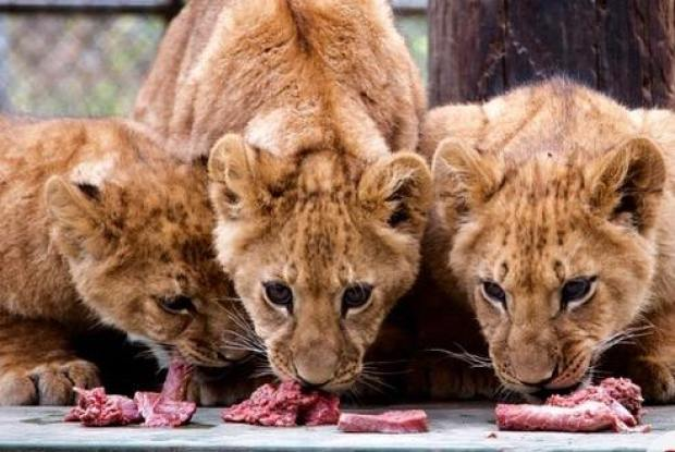 [NATL-LA] Newborn Lion Cubs Unveiled to Public at Wildlife Waystation