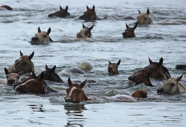 A Sea of Wild Ponies: Photos of Massive Va. Pony Swim