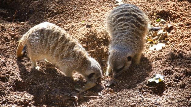 Zoo's Missing Meerkat Mystery Solved With 3 People Charged