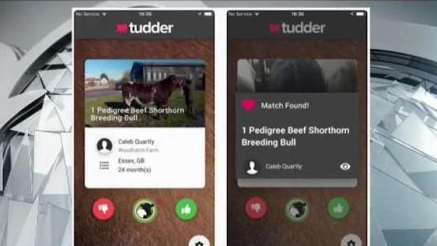 App Makes it Easy for Cows to Find Romance