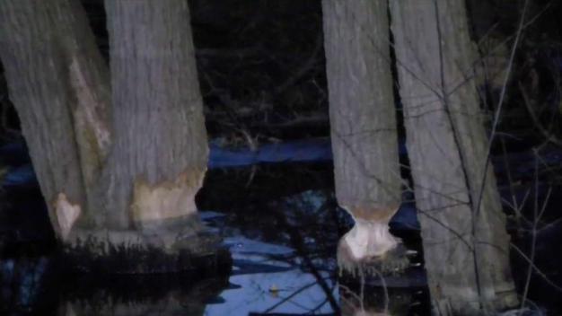 Framingham Approves Killing Beavers to Stop Road Floods