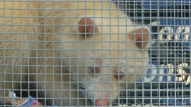 Rare Albino Raccoon Captured