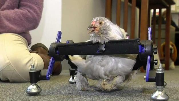 10-Year-Old Upset Over SNL Spoof on Her Disabled Pet Chicken
