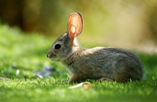 N.H. to Monitor Status of Endangered Rabbits in Winter