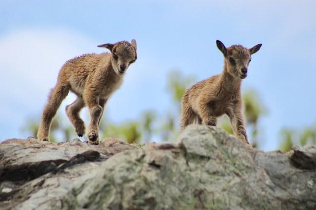 2 CUTE: Twin Baby Mountain Goats Born at Stone Zoo