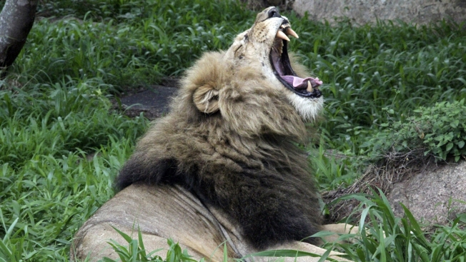 Before Elephants, US Loosened Limits on Lion Hunt Trophies