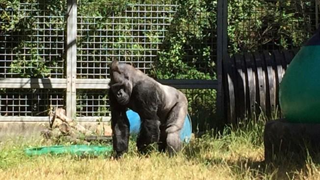 Cincinnati Zoo Sues for Return of Koko's Gorilla Companion