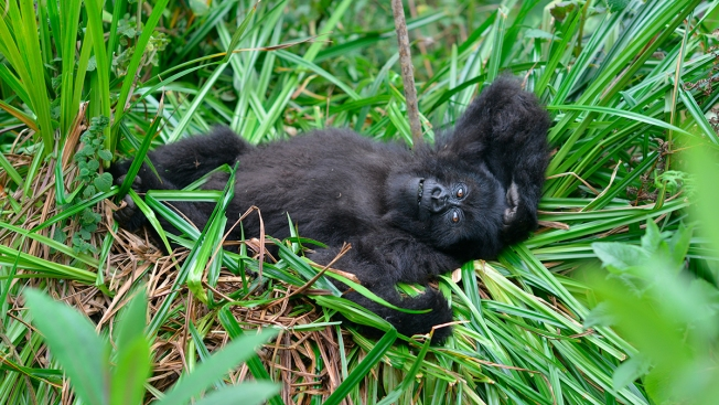 Mountain Gorilla Population in Africa Slowly Rebounding After Facing Near-Extinction