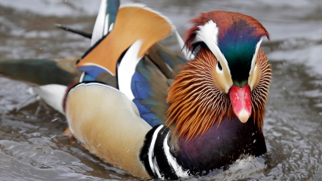 Quackarazzi: Rare Mandarin Duck Holds NYC in its Spell