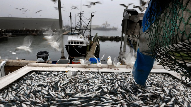 Big Changes About Small Fish Might be in Store for New England Fishermen