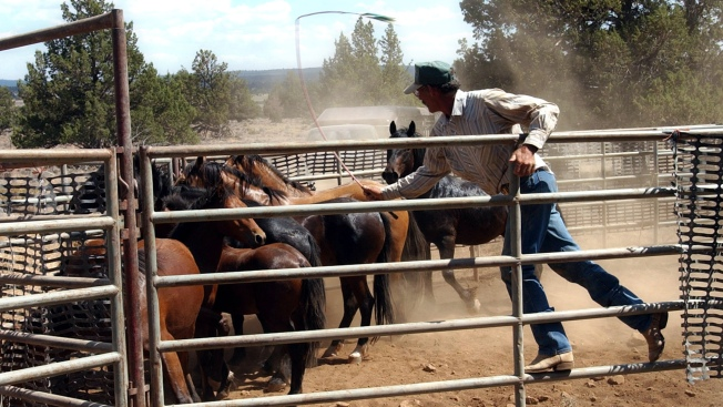 1,000 Wild Horses to Be Rounded Up, Possibly Slaughtered in Northern California