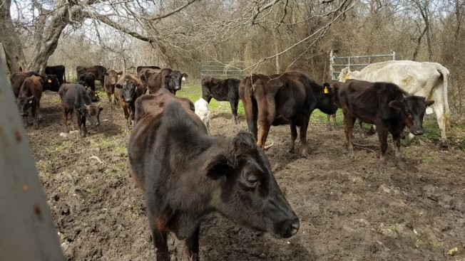 Dozens of Starving Cattle Seized in Johnson County