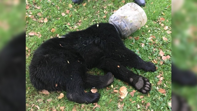 Bear Cub With Bucket on Its Head Rescued After 3 Days