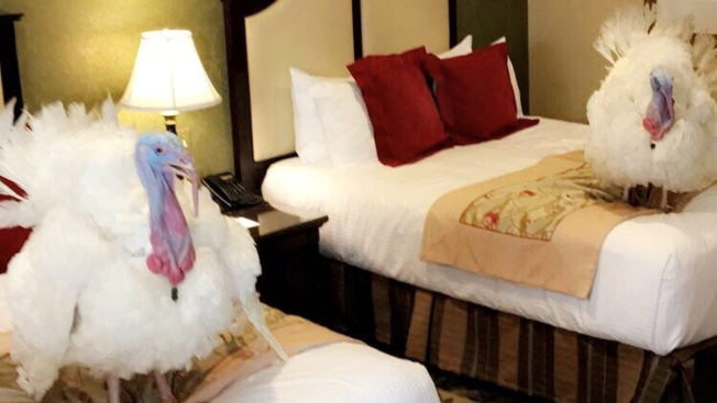 Turkeys get their own luxury hotel room before pardoning ceremony