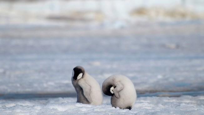 Major Emperor Penguin Breeding Ground Gone Barren Since 2016