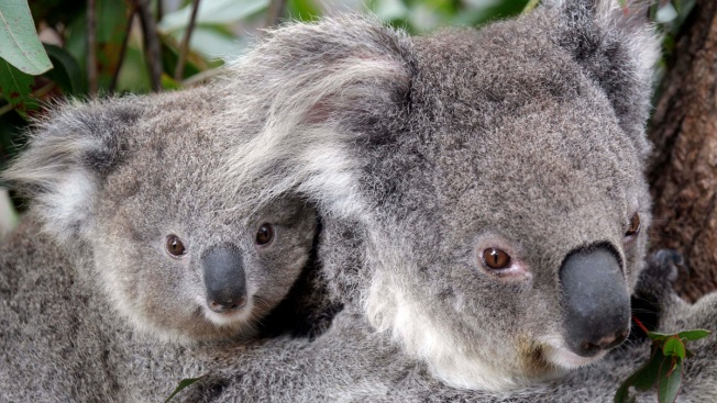 Hundreds of Koalas Feared Dead in Australian Wildfires