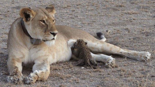 Lion Nurses Adorable Leopard Cub in Tanzania