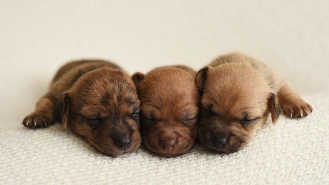[NATL]Newborn Photoshoot Features Adorable Tiny Puppies