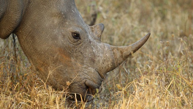 South African Rhino Breeder Readies Online Auction of Horns