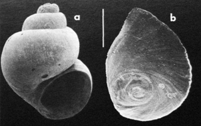 Tiny Snail Species Unique to Georgia Declared Extinct