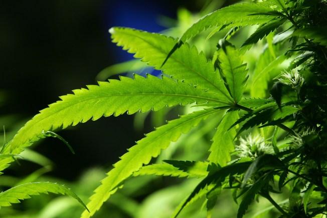 Senate President Suggests Non-Binding Marijuana Question on Massachusetts Ballot