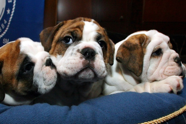 Ag Sues Massachusetts Man For Selling Fatally Ill Bulldog Puppies To