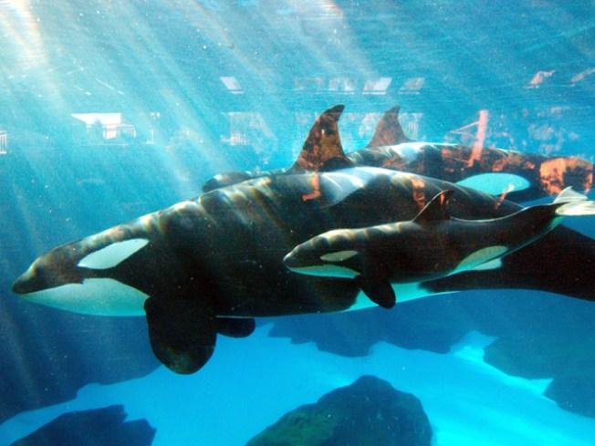 SeaWorld Veterinarians Euthanize Sick Orca