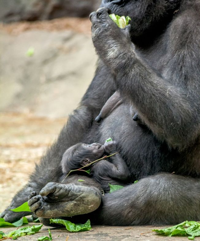 Viewer Baby Gorilla Name Suggestions