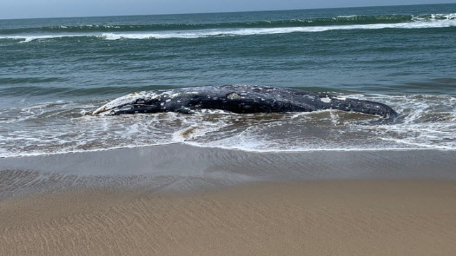 Feds to Investigate Spike in Gray Whale Deaths on West Coast