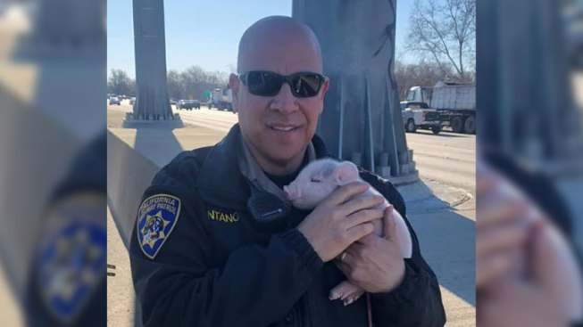 CHP Officer Comes to Aid of Stranded Newborn Piglets