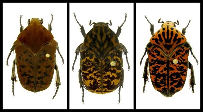 Professor Names Beetle Species After 'Game of Thrones'